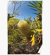 Australian Bottle Brush - Bundaberg - Australia Poster