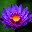 Neel-kamal [Purple-colored Lotus] by Biren Brahmbhatt