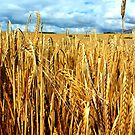 St.Margarets - Barley Fields by rsangsterkelly