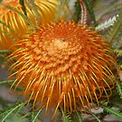 Showy Dryandra by Eve Parry