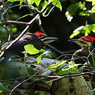 Pileated Woodpecker family by amontanaview