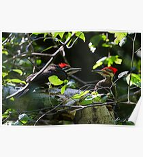 Pileated Woodpecker family Poster