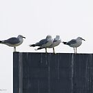 Four Seagulls by Barry W  King