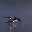 Common loon skipping by Jim Cumming