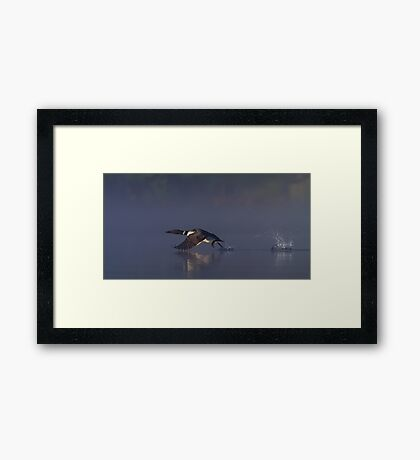 Common loon skipping Framed Print