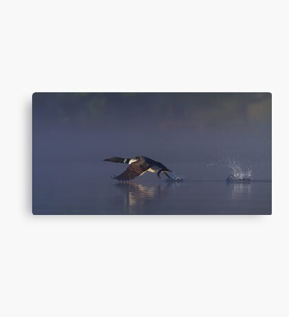 Common loon skipping Canvas Print