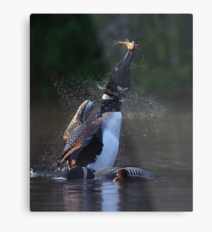 Pisces Rising 2 - Common Loon Metal Print