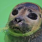 Seal Pup ! (2) by jdmphotography