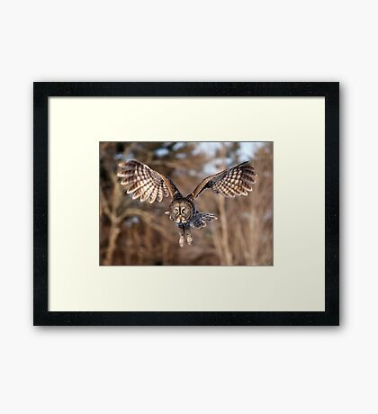 Great Grey Owl swoops down Framed Print