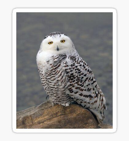 Owl on the Rocks - Snowy Owl Sticker