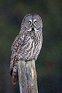 Great Grey Owl on Post by Jim Cumming