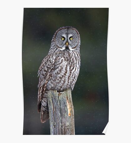 Great Grey Owl on Post Poster