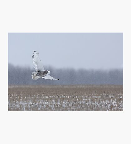 Snowy Owl takes flight Photographic Print