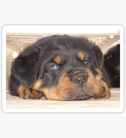 Adorable Rottweiler Puppy With Blue Eyes Sticker