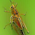 The beautiful grasshoper by EbyArts
