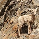 Baby Mountain Goat by Tracy Friesen