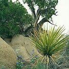 joshua tree..4 by steveschwarz
