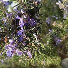 Rosemary by Tracey Hansell