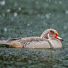 Silver Wood Duck Profile by Daniel  Parent