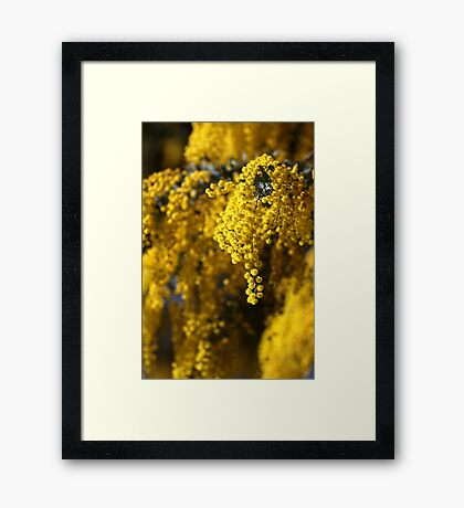 Raining Wattle Framed Print