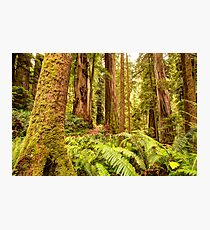 Deep Forest Redwoods Photographic Print