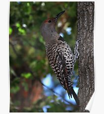 Picidae Northern Flicker (Colaptes auratus) Poster