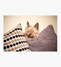 mini yorkie dog  between the cushions Photographic Print