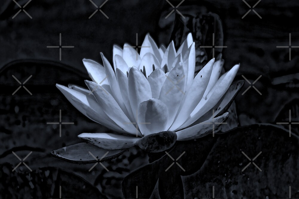 Water Lily in Black and White by Vickie Emms