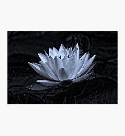 Water Lily in Black and White Photographic Print