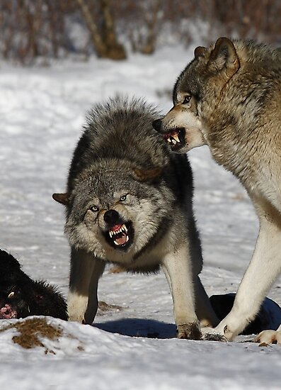 Back off! - Timber Wolf by Jim Cumming