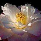 Lady Camellia by grannyshot