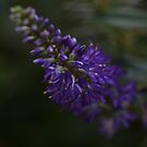 Purple Hebe by Astrid Ewing Photography