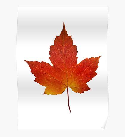 Maple Leaf - Algonquin Park, Canada Poster