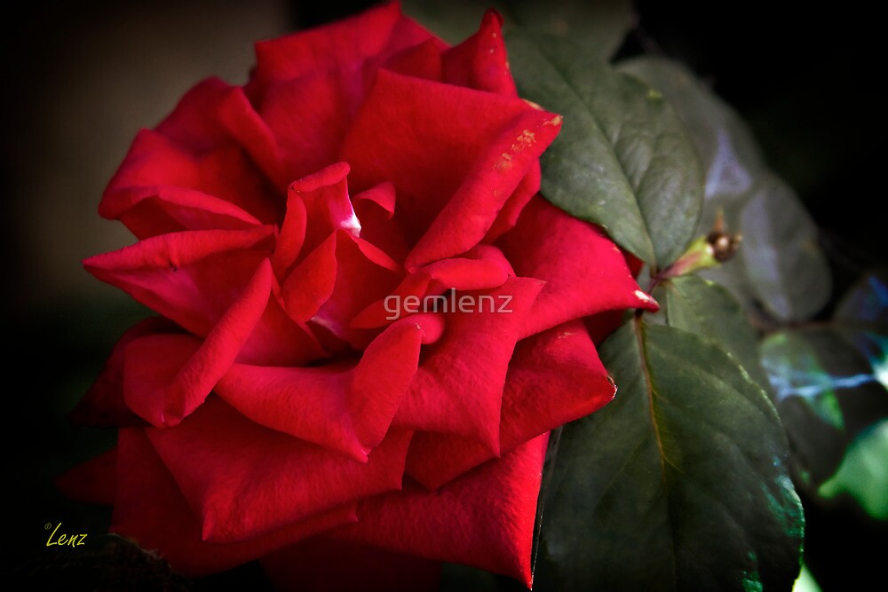 The Rose by George Lenz