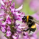 BUMBLE-BEE AT WORK by mc27