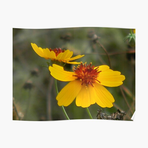 Coreopsis, Mid-Summer Poster