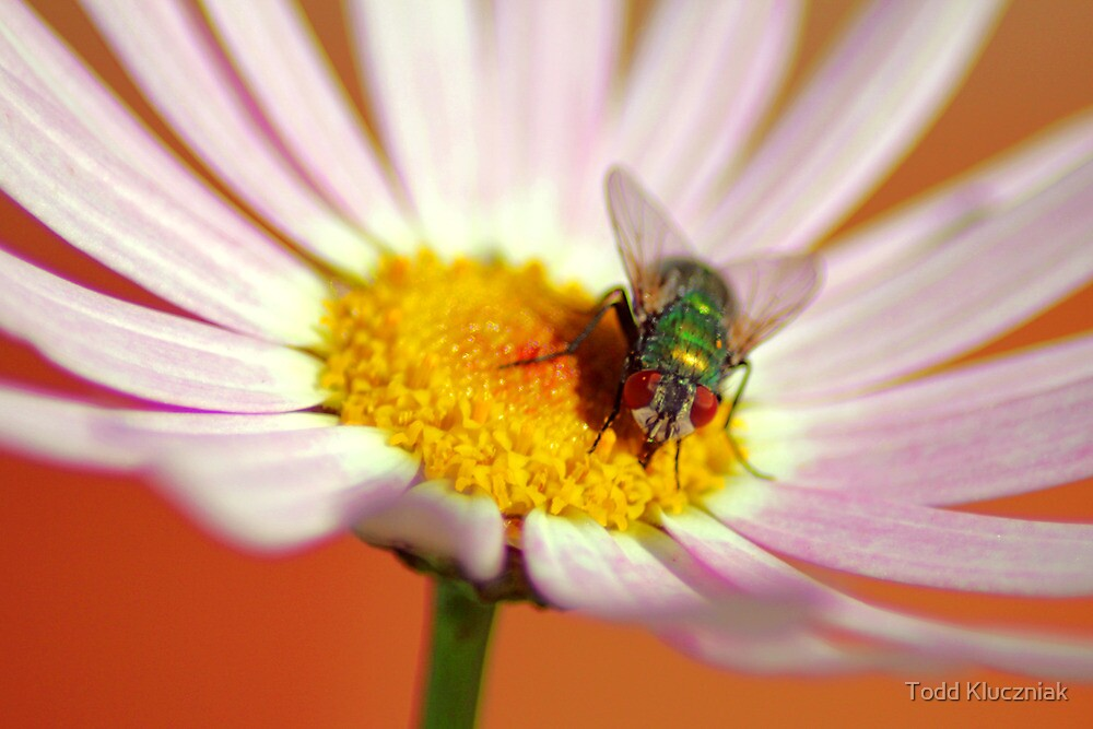 Blow Fly by Todd Kluczniak