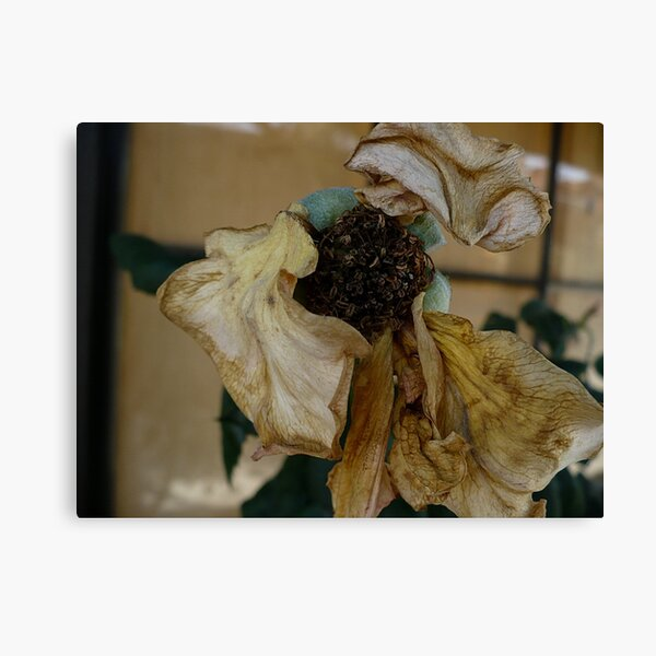 Dying Bloom Canvas Print