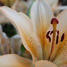 Lily in bloom by karenkirkham