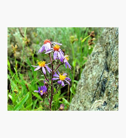 Mountain Wild Flower Photographic Print