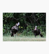 Turkeys - (Meleagris gallopavo) Photographic Print
