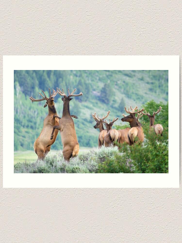 Alternate view of Elk Bulls Sparring Art Print