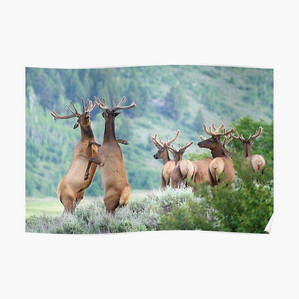 Elk Bulls Sparring Poster