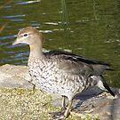 Mrs Duck. Male Maned (Wood) Duck - Chenonetta jubata by Lydia Heap