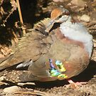 Does my wing look bright? Bush bronzewing - Phaps elegans by Lydia Heap