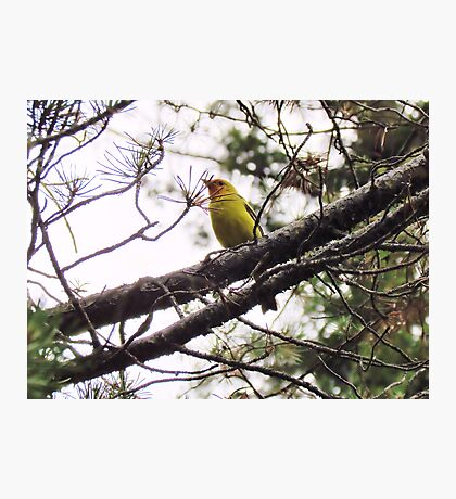 Western Tanager Photographic Print