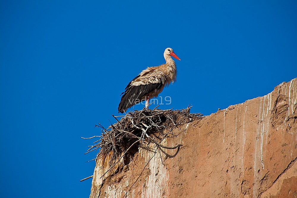 Morocco. Marrakech. Stork on the old wall of Medina. by vadim19