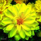 Yellow Dahlias by LandLimages