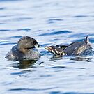 Pied-billed Grebe by Wayne Wood
