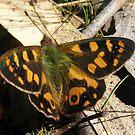 Furry Butterfly by Lydia Heap